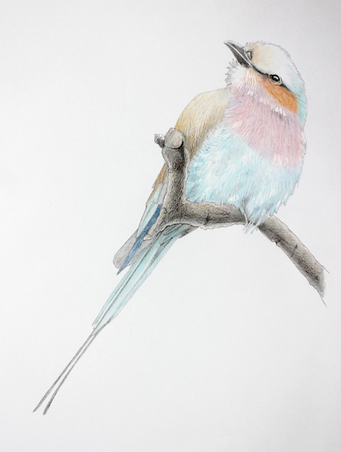 Bird illustration in progress by Vicky Pratt Illustration