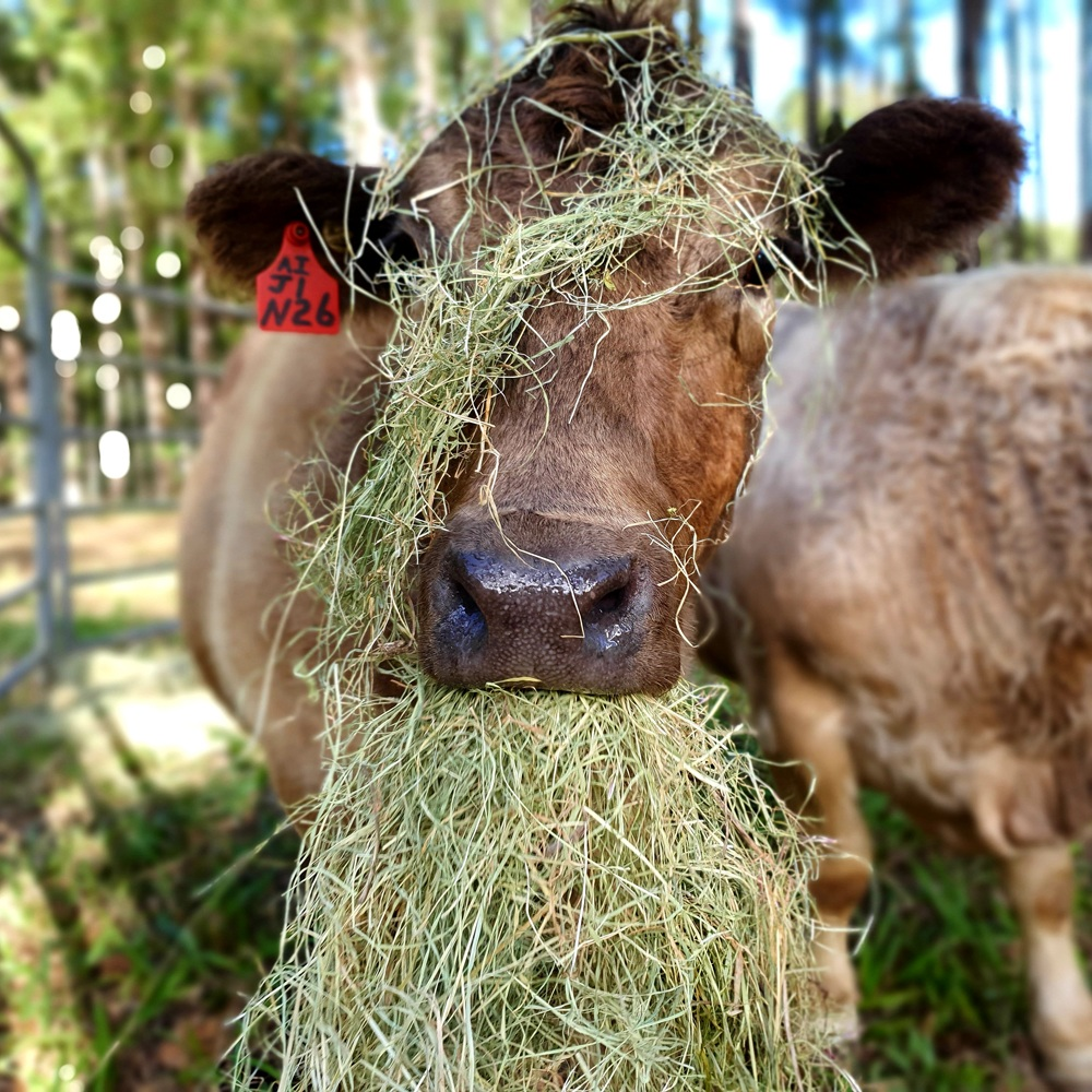 Close up of one of Marceliena's beautiful cows munching on – and wearing – some hay